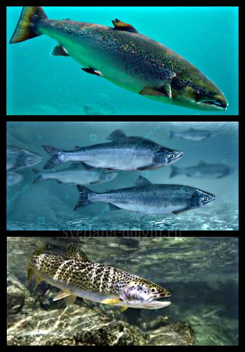 samaya-poleznaya-ryba