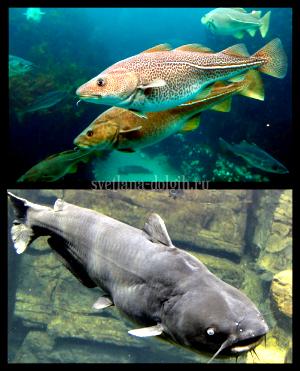 samaya-poleznaya-ryba2